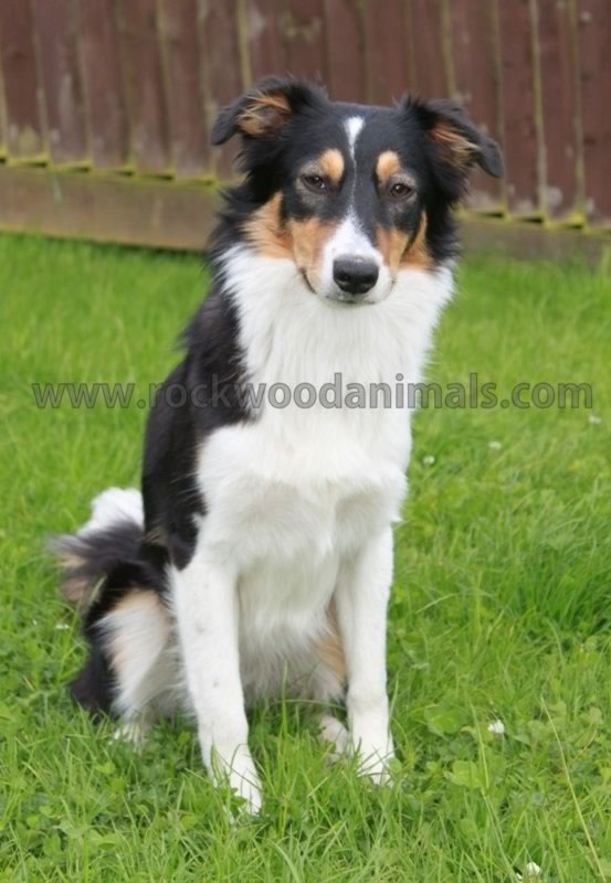 Tri Boarder Collie.Lexi